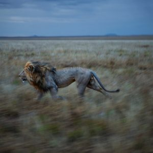 After appearing cautious amongst the Vumbi pride, resident male Hildur inexplicably began to run, and continued to run for five miles.  He was running to his other pride where we found him consorting with an estrus female the next day.  Serengeti National Park, Tanzania, 2012.